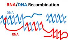 RNA/DNA Recombination